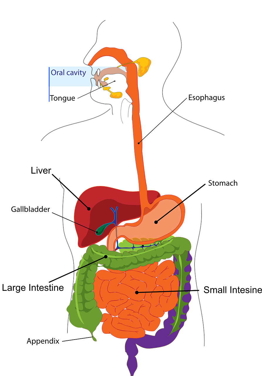 Preventing appendicitis healthy families. Cows clipart digestive system