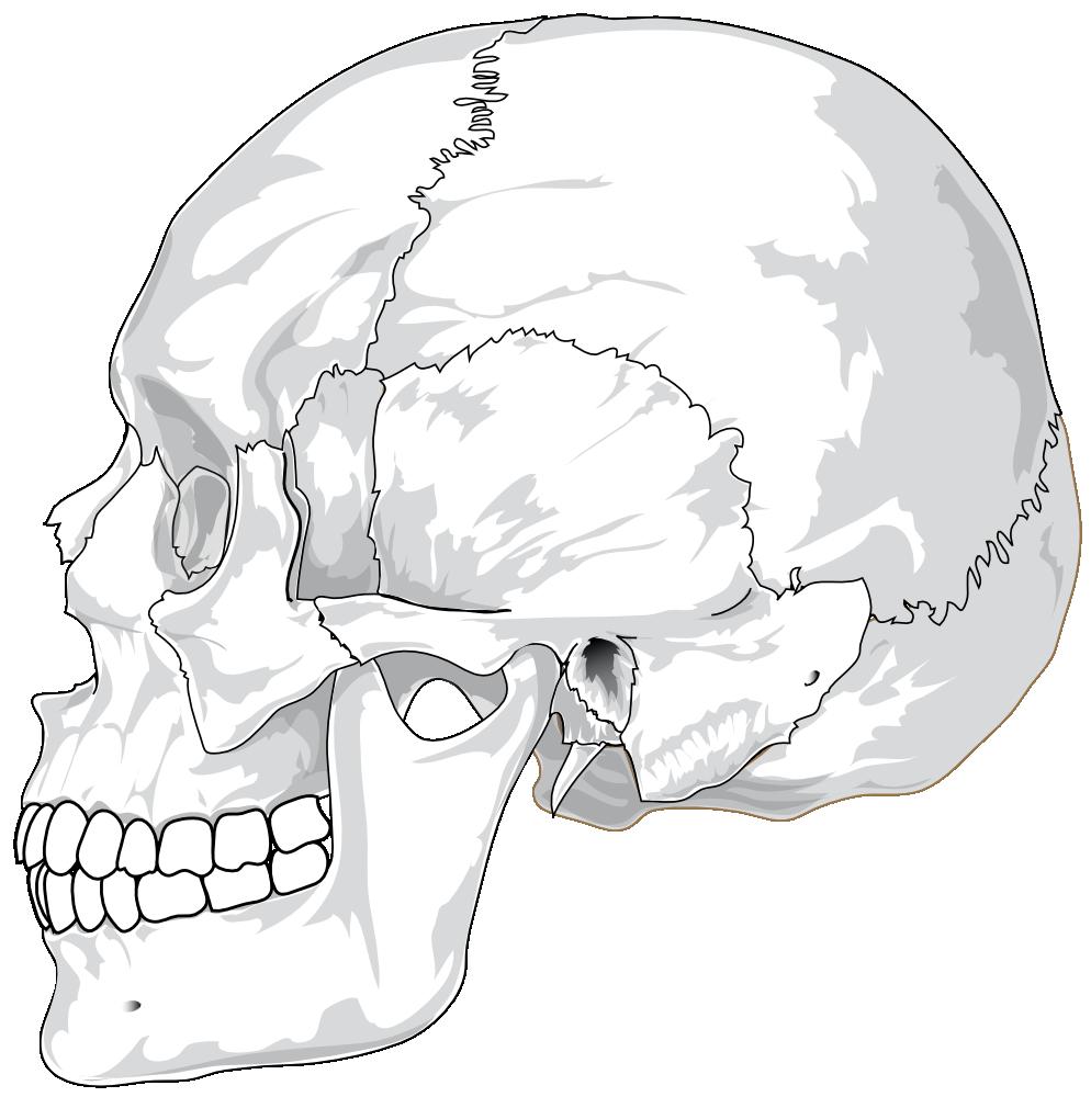 Human clipart human head. Onlinelabels clip art skull