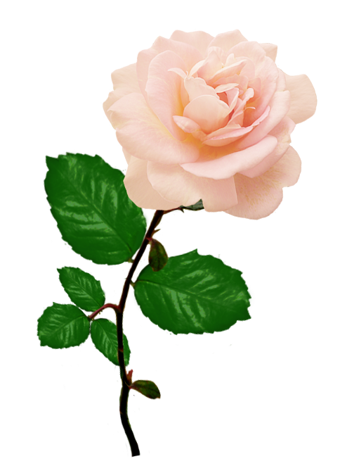 Rose clipart single. Red long stalk pink