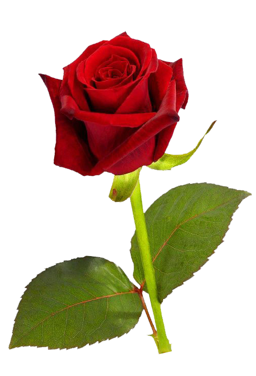 Single red rose png. Clipart roses natural
