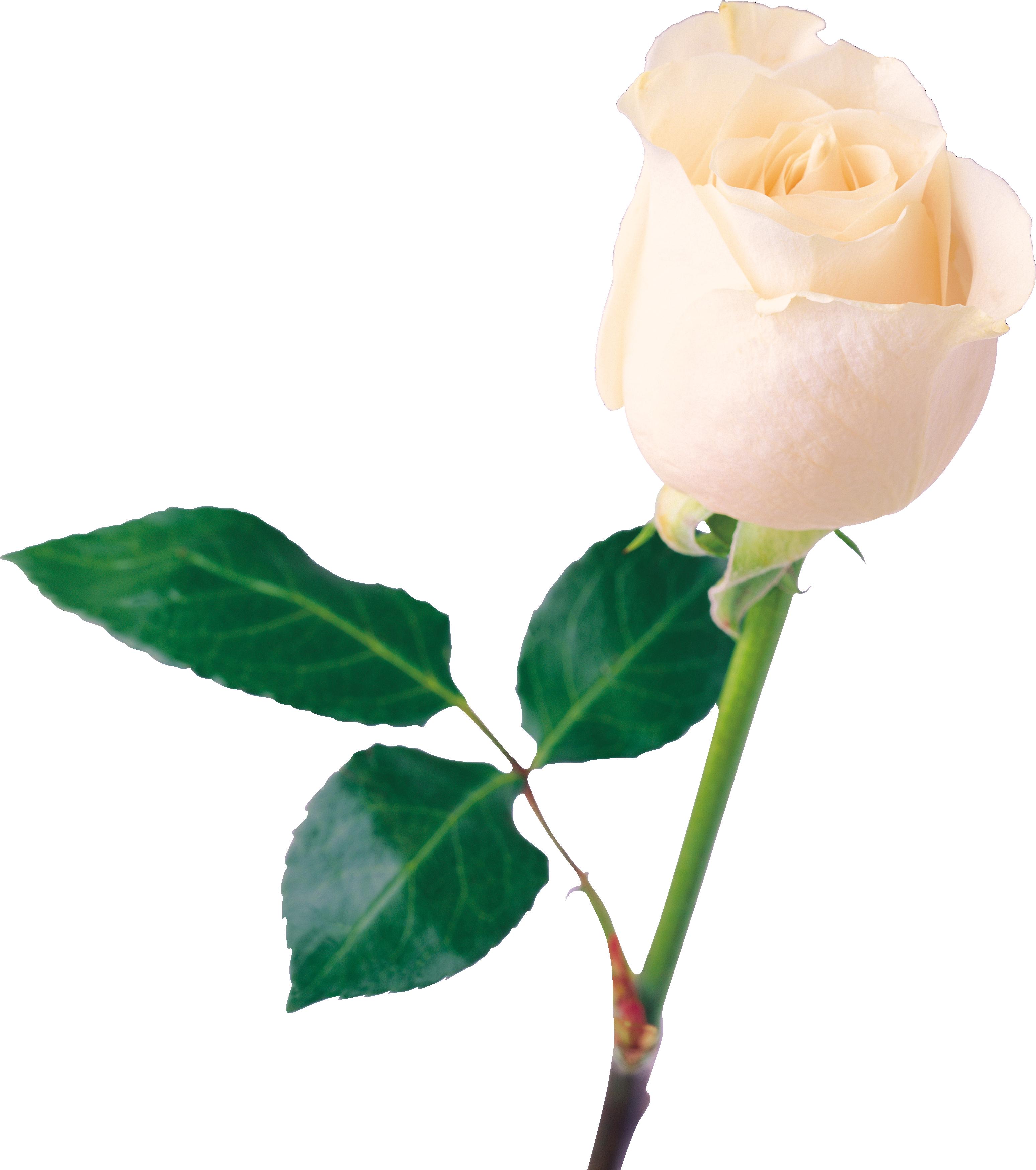 Clipart rose chalkboard. White png image flower