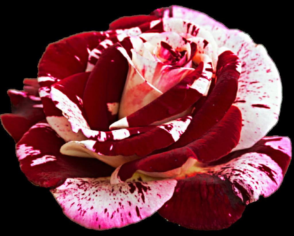 Clipart rose christmas. By jeanicebartzen on deviantart
