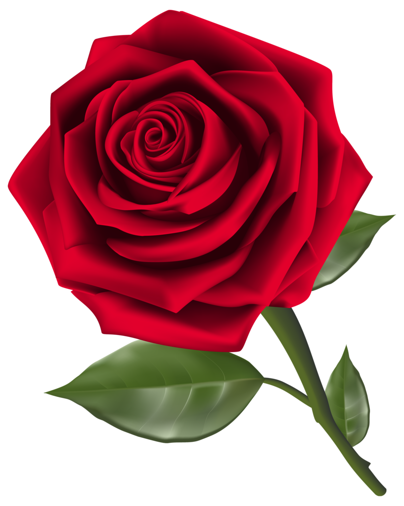 Beautiful red png . Clipart rose clear background