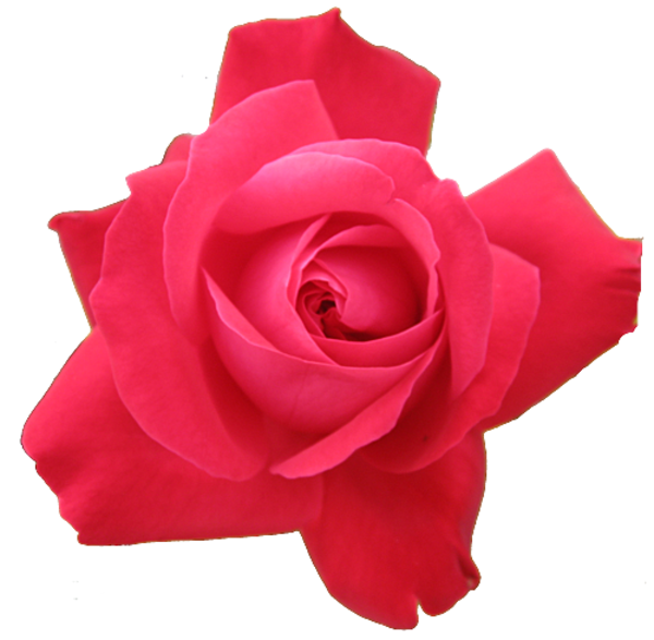Clipart rose clear background. Red transparent isolated free