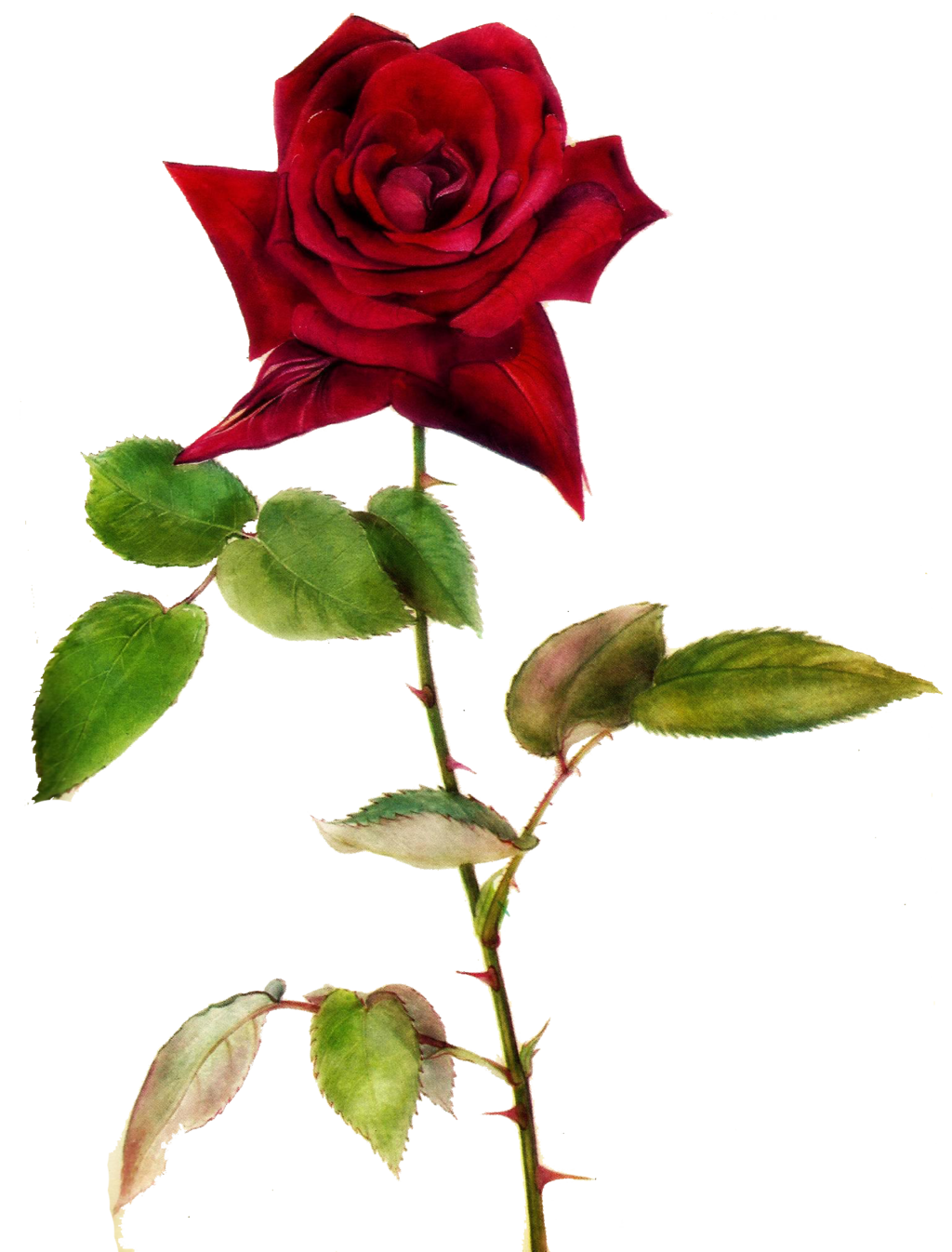 Jinifur red by deviantart. Clipart rose dying