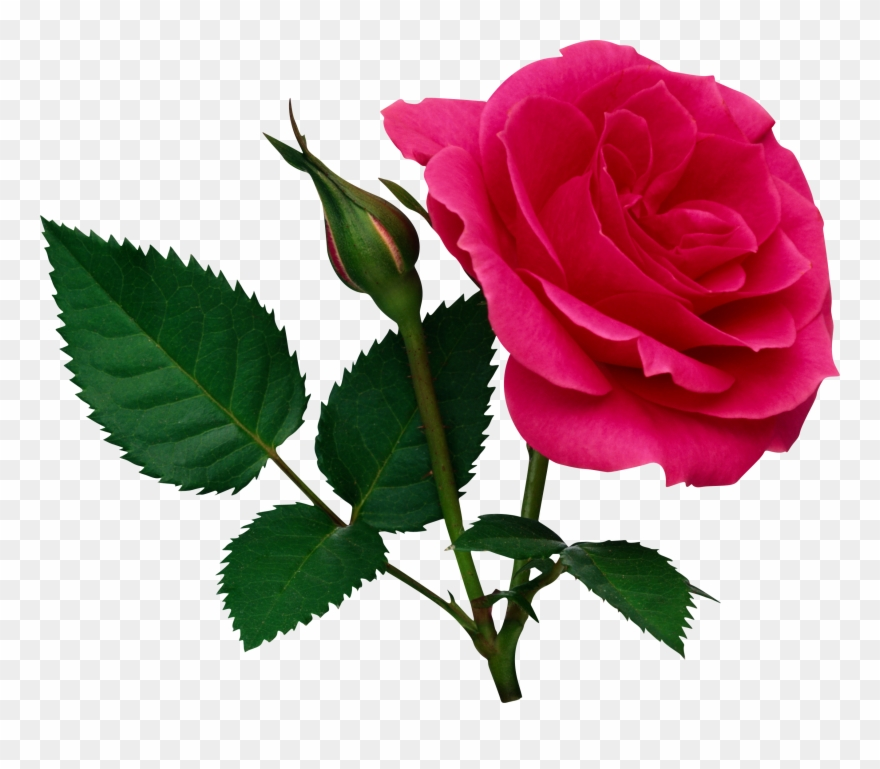 Pink large and bud. Clipart rose file