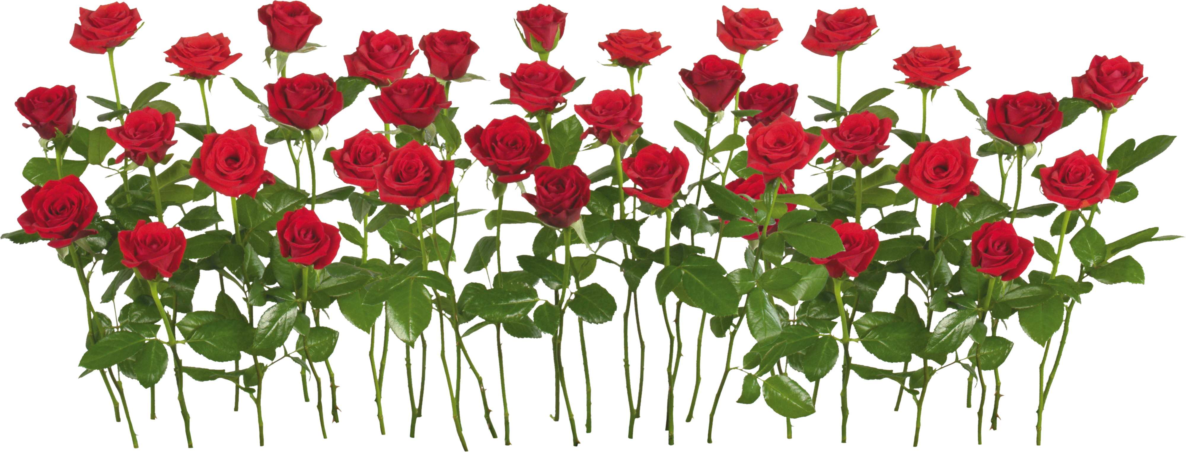 Icon web icons png. Clipart rose file