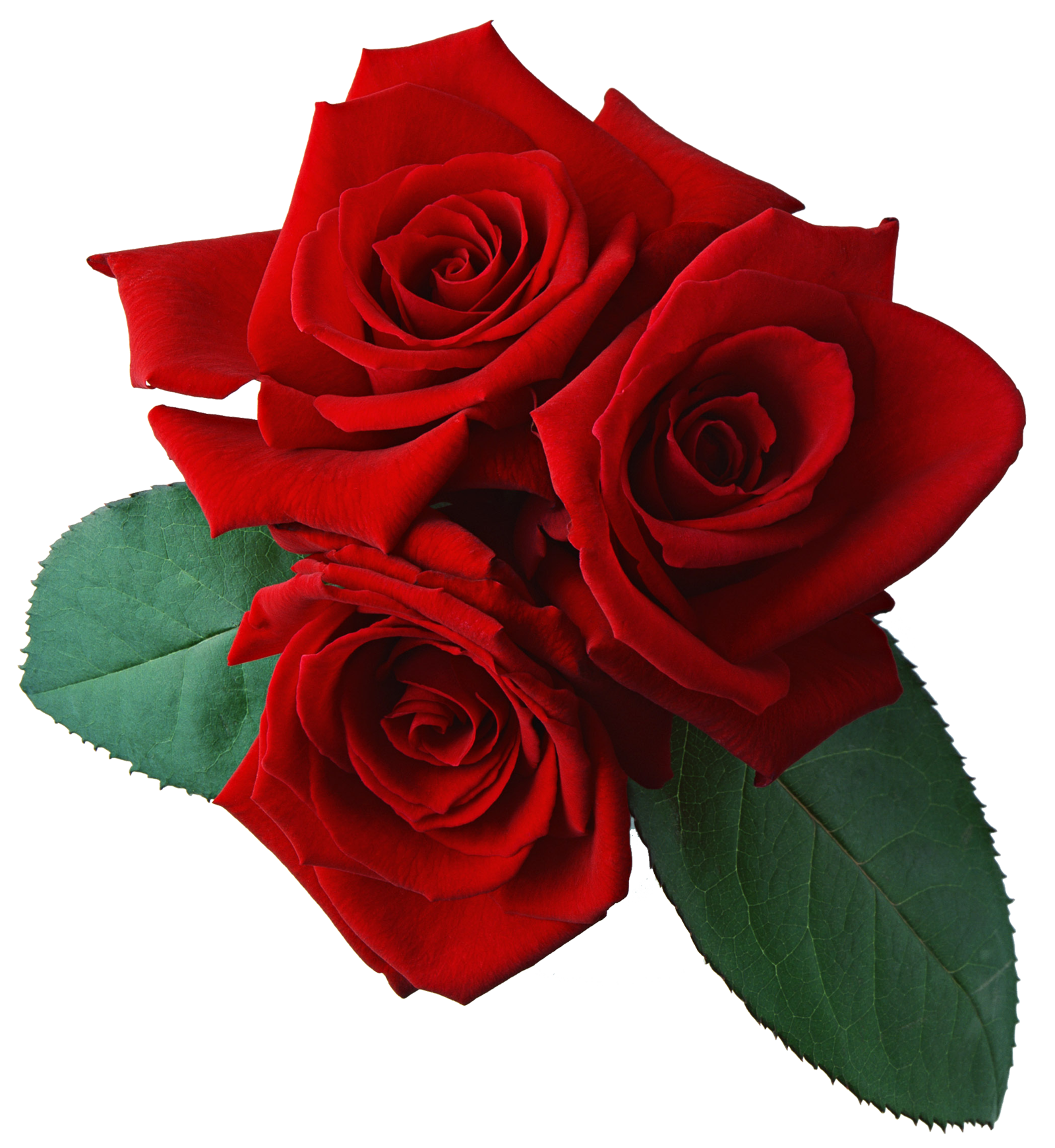 Clipart rose giving. Png transparent images all