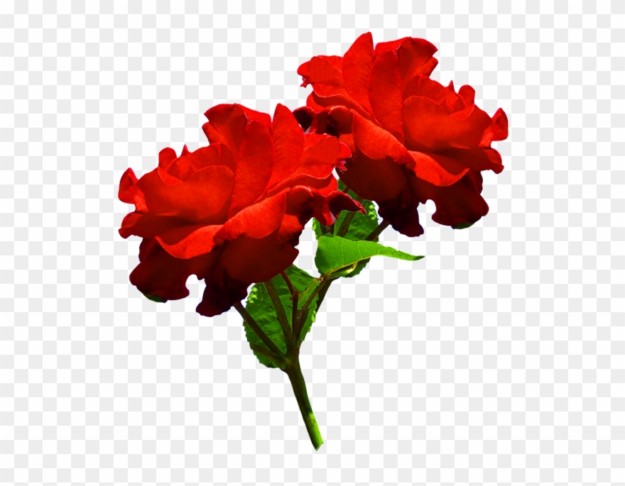 Red rose two png. Clipart roses head