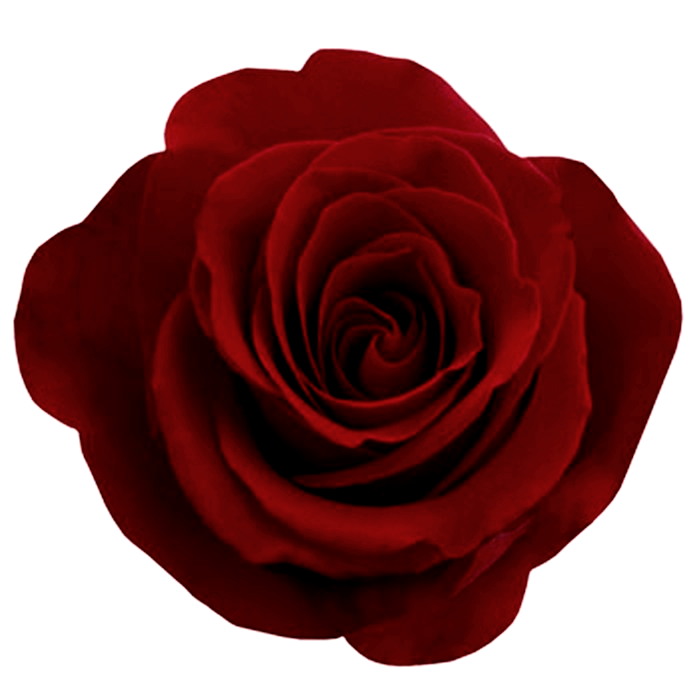 Png images transparent free. Rose clipart high resolution