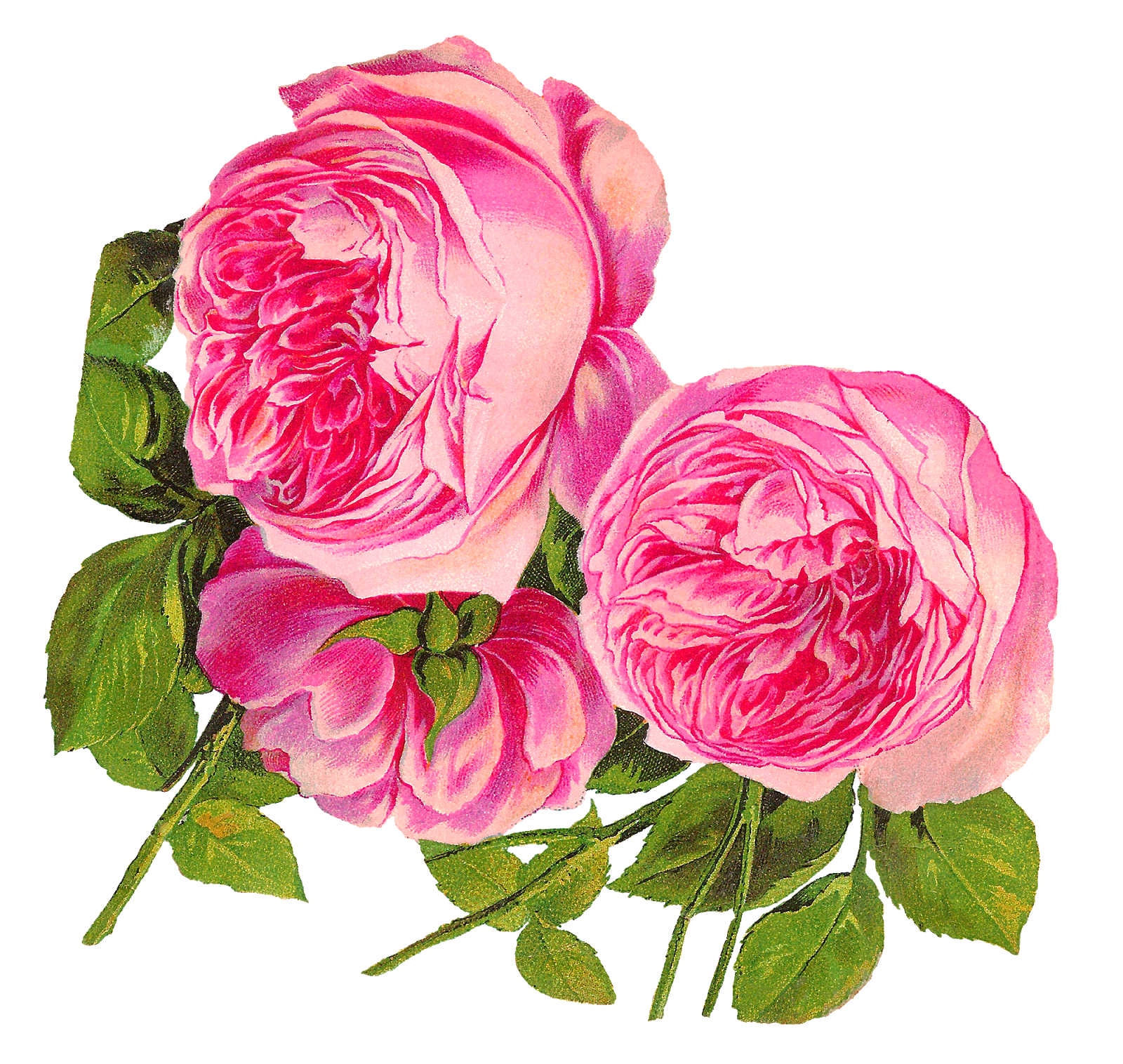Antique images digital botanical. Clipart rose illustration