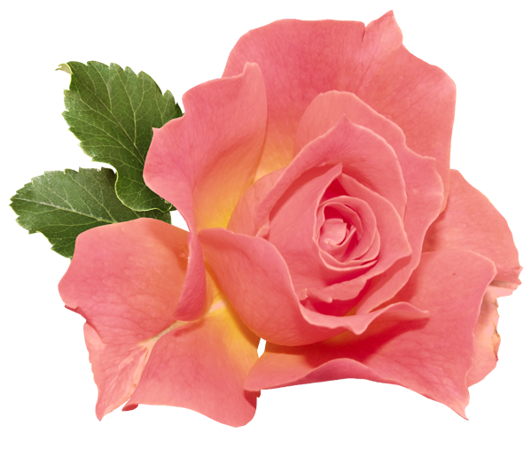 Rose clipart r e. Orange flower png