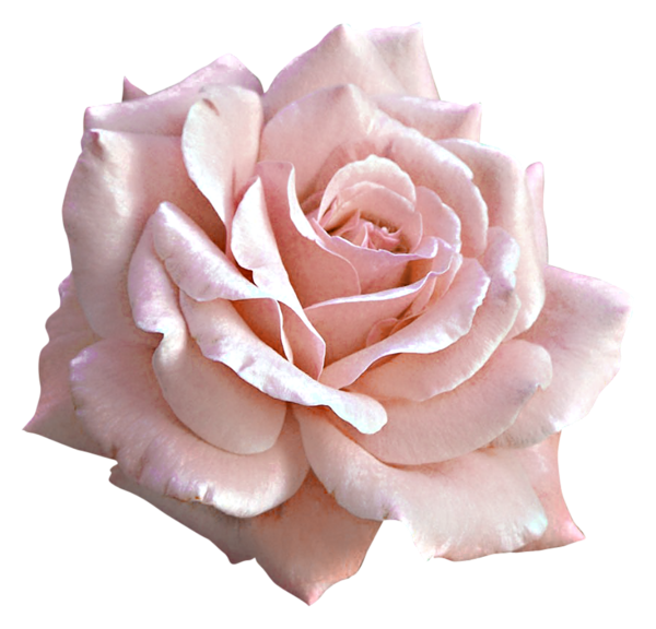 Large light pink png. Clipart rose kitty