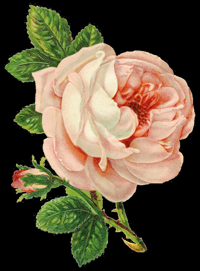 Lavender clipart vintage. Belles roses cartes postales