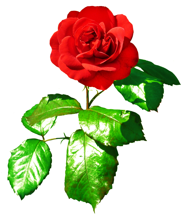 Red with leaves . Clipart rose leaf