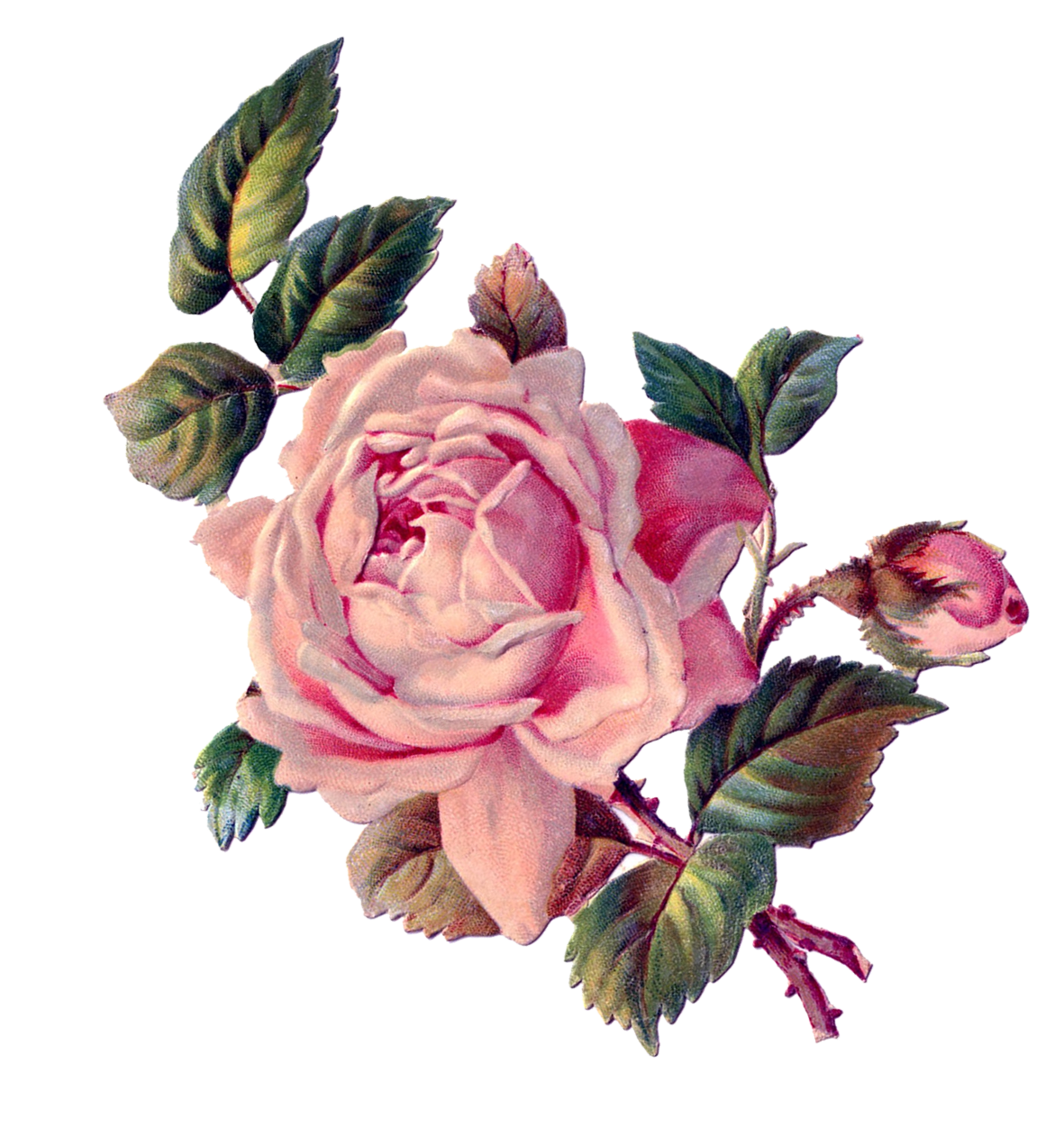 Peonies clipart pastel. Pink roses png clipark