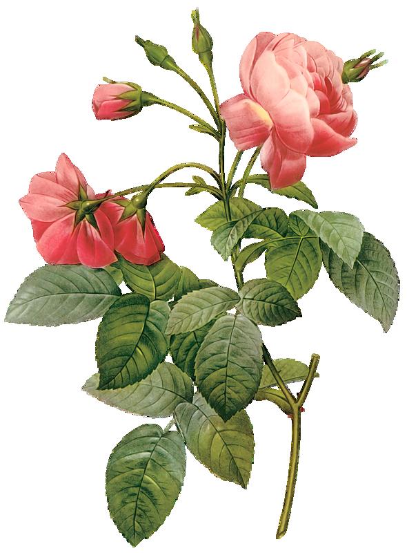 Rose clipart mini rose. Flowers pinterest vintage flowersmini