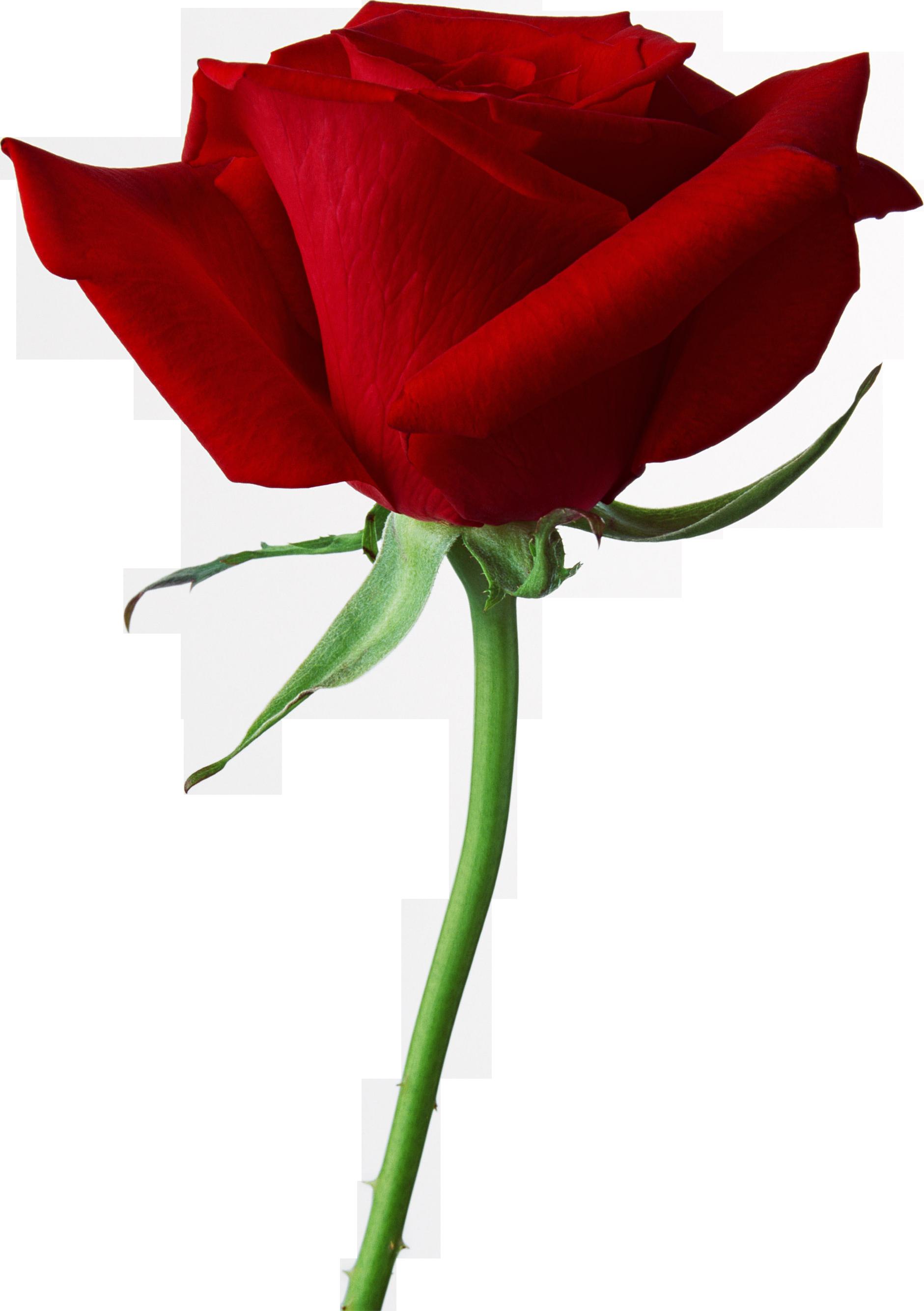 Pic qygjxz x px. Rose png images