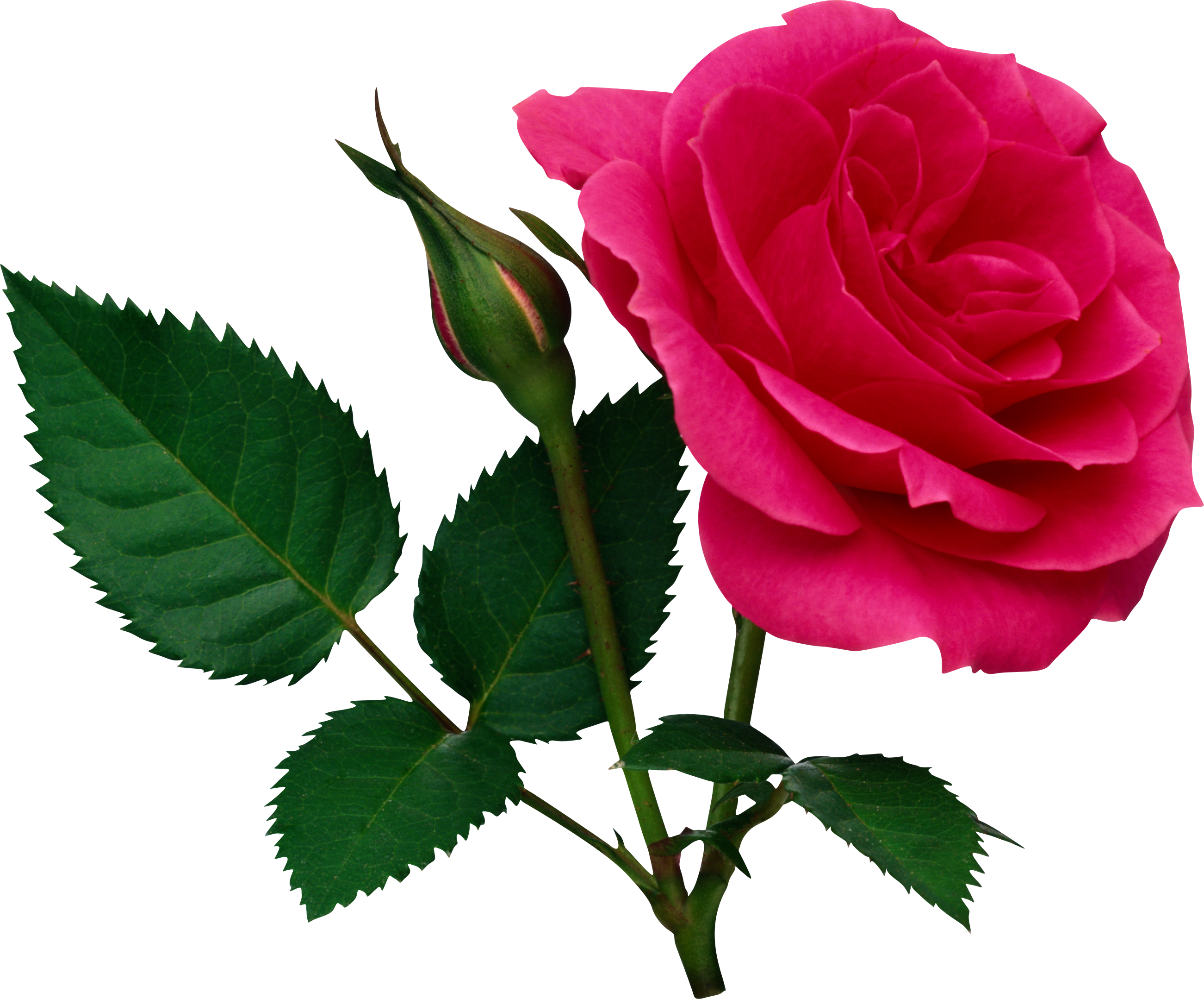 Pink large rose and. Clipart roses natural