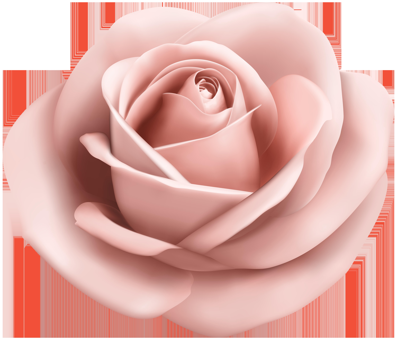 Clipart rose peach rose. Garden roses pink clip