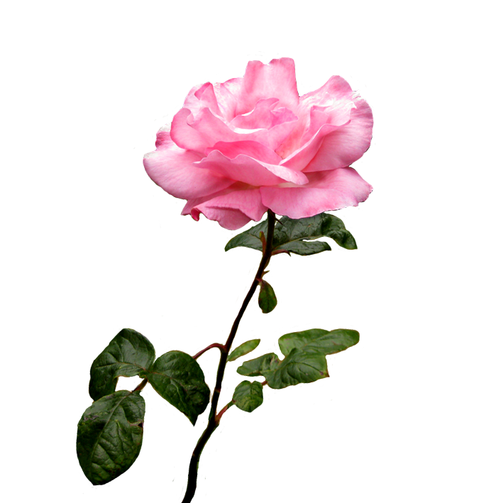 Peony clipart clear background rose. Pink flower on stalk
