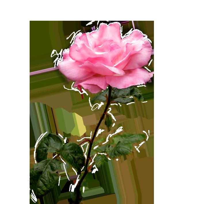 Clipart roses leaf. Pink rose flower on
