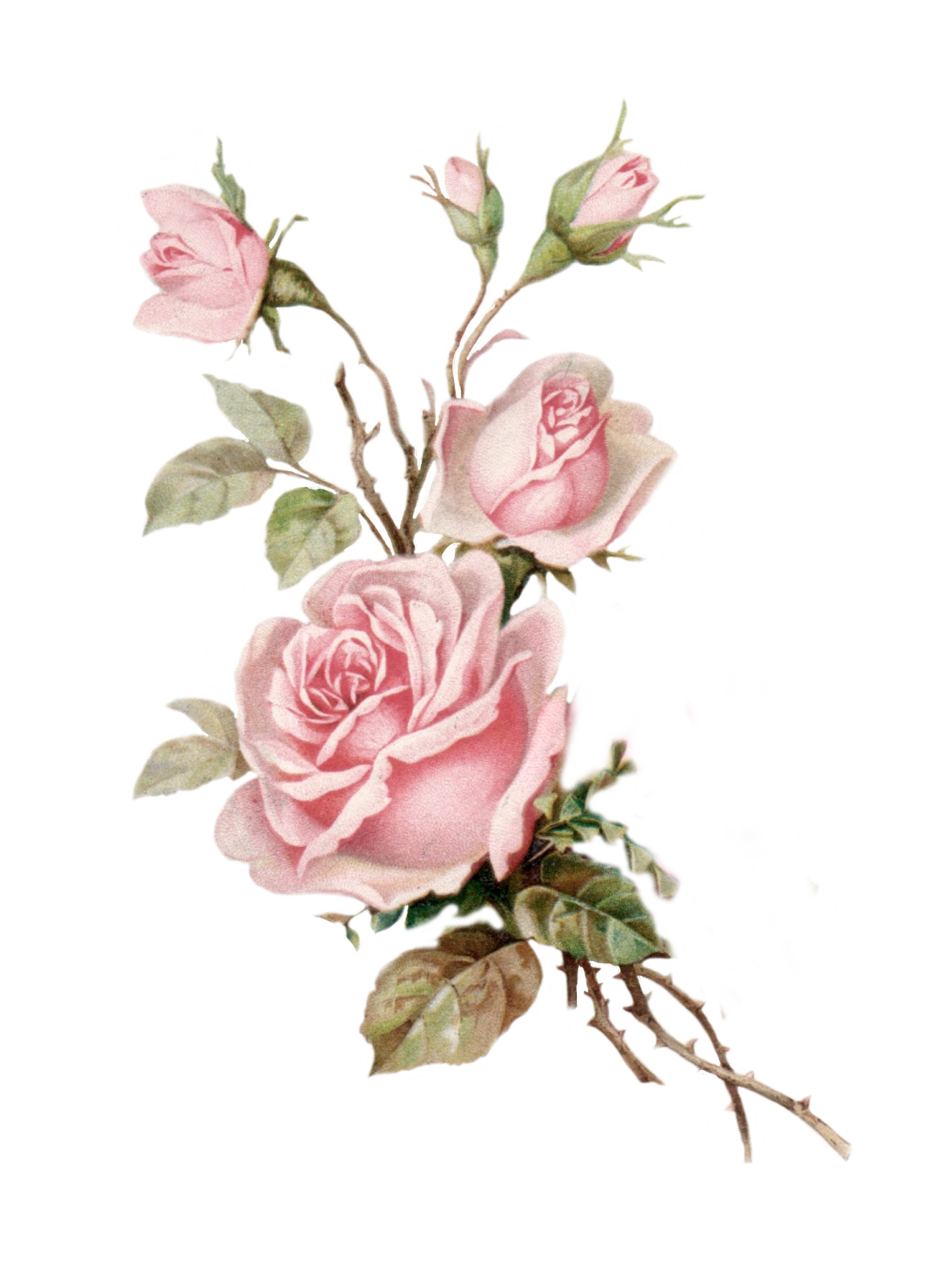 Vintage pink png cut. Clipart rose pearl