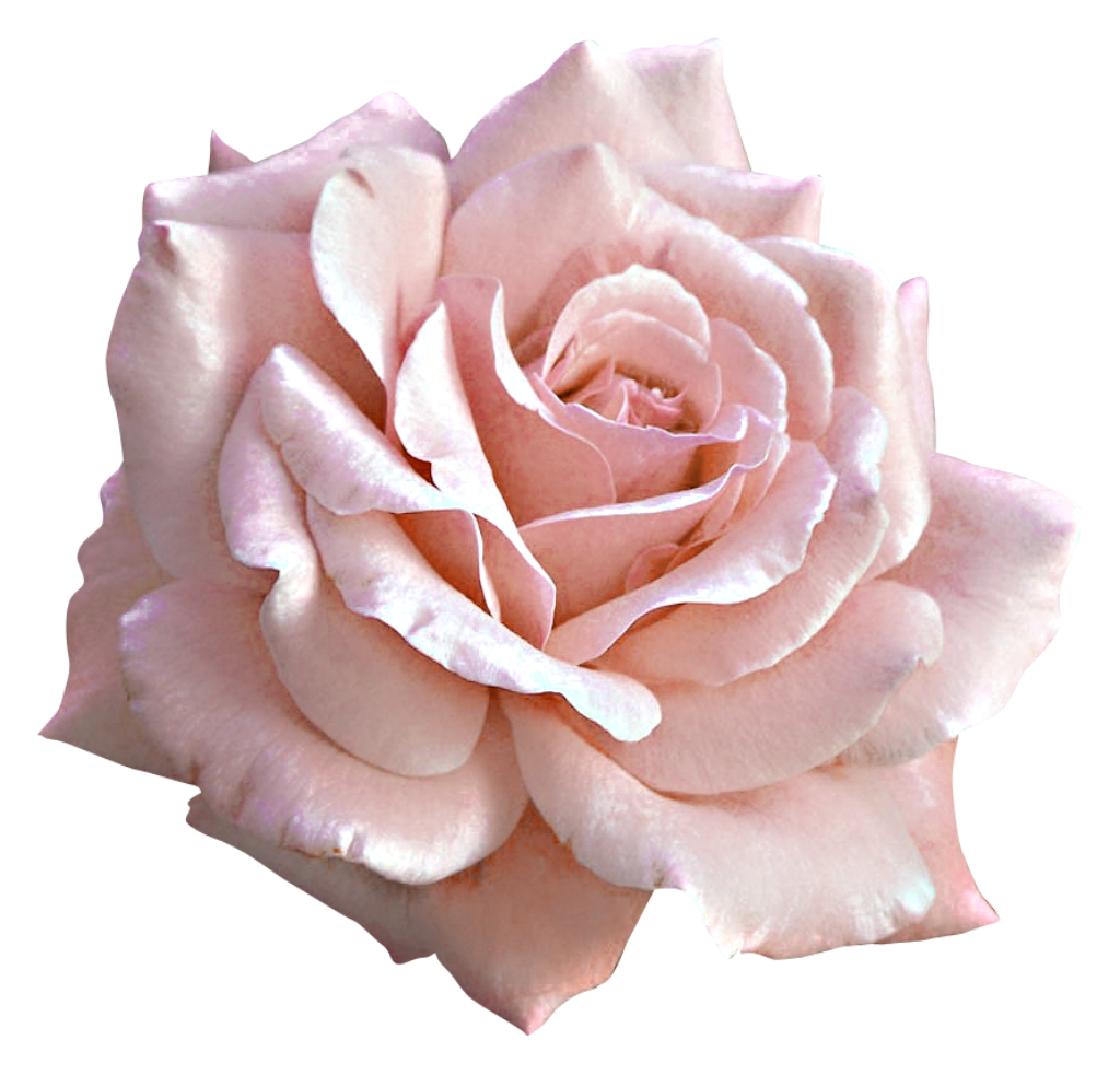 Large light pink png. Rose clipart peach rose