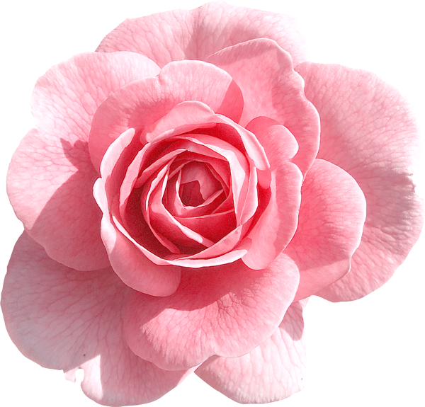 Light png gallery yopriceville. Clipart roses pink rose