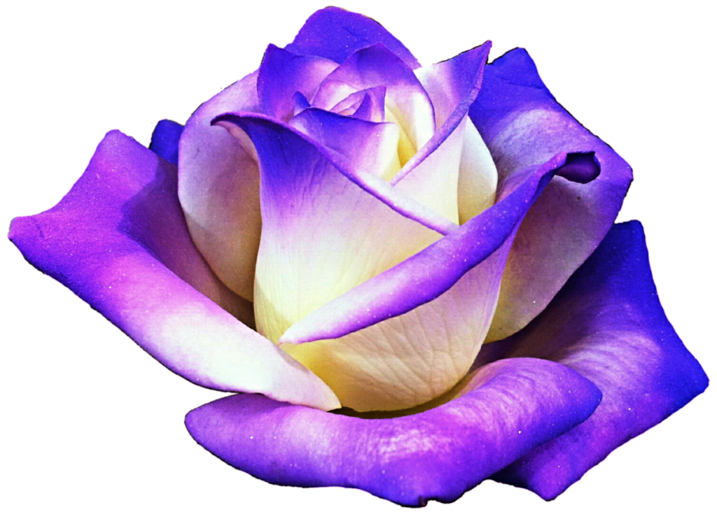 Clipart roses purple. Creamy cool rose by