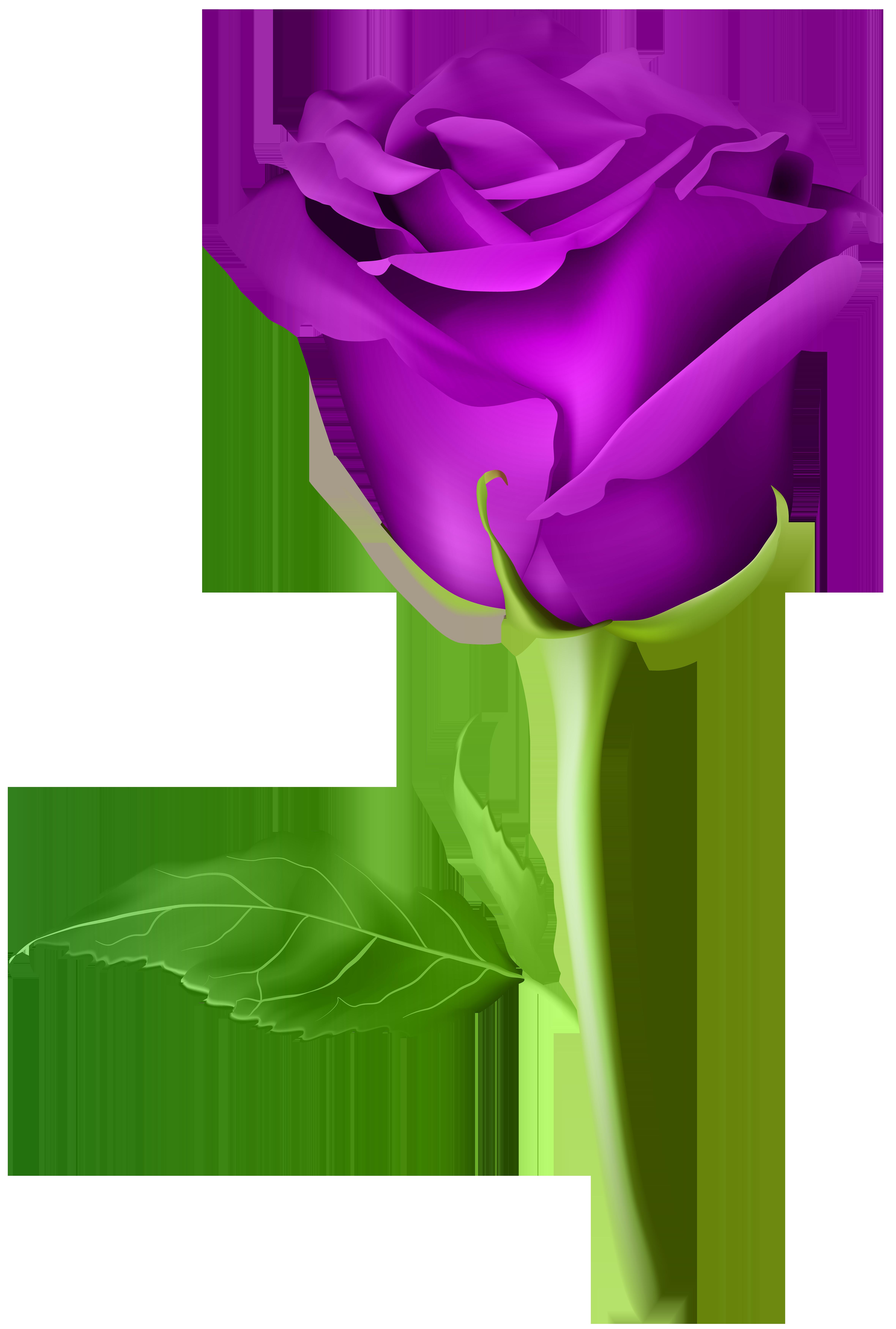 Rose transparent png clip. Clipart roses purple