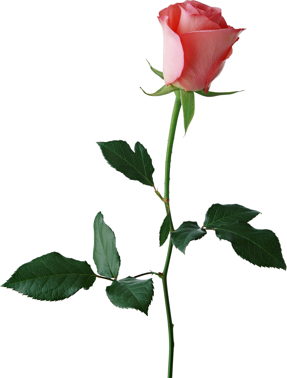 Large png gallery yopriceville. Rose clipart rose bud