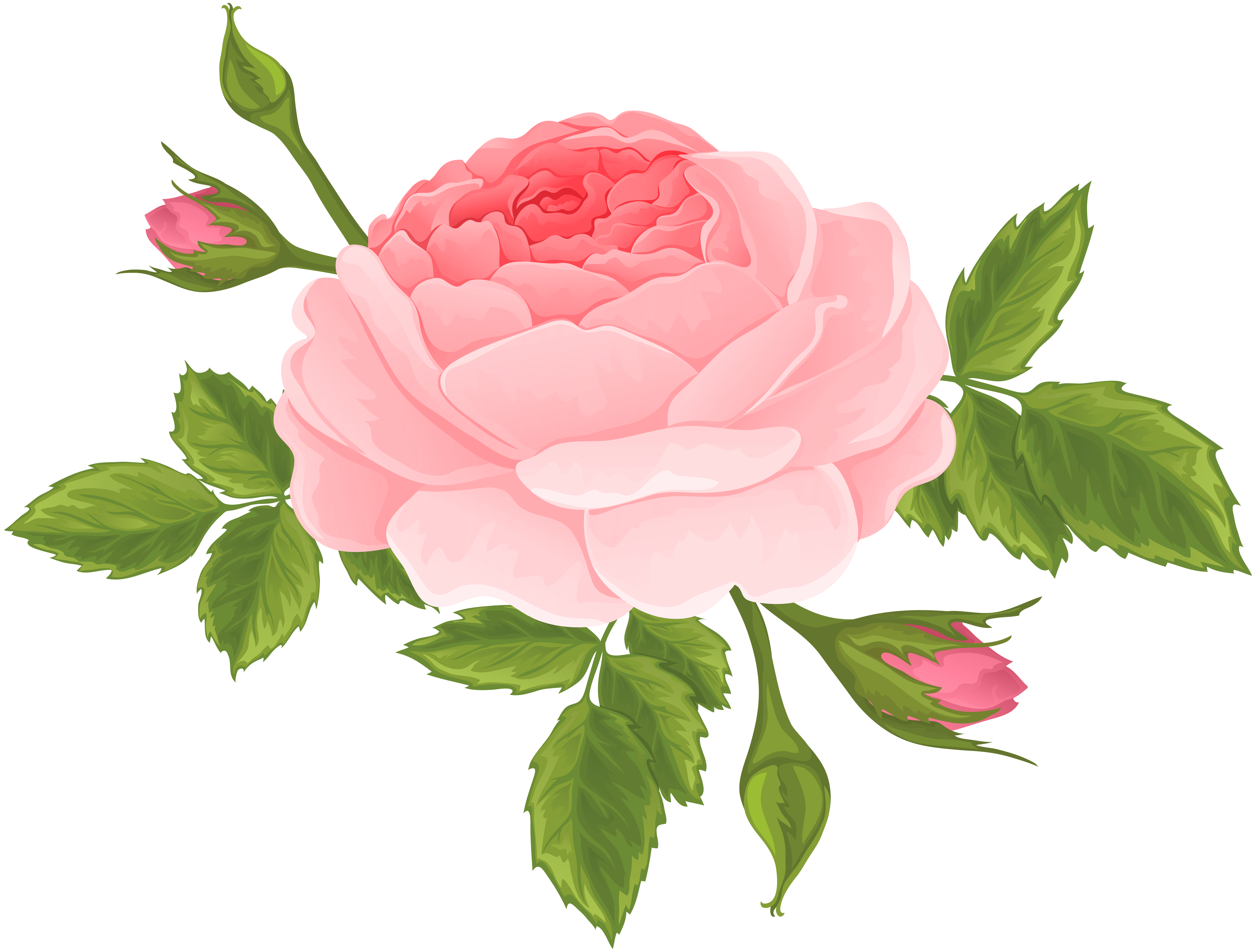 Rose clipart blossom. Pink with buds png