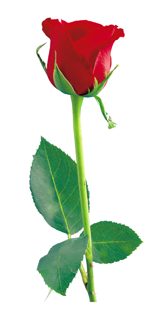 Single flower png. Red rose clipart gallery