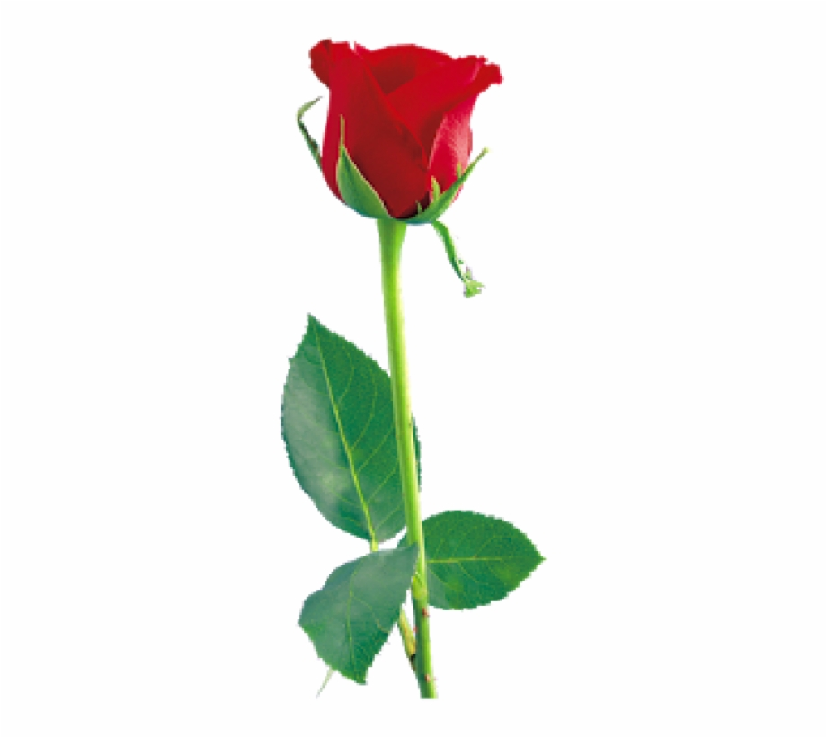 Clipart roses stick. Rose png free images