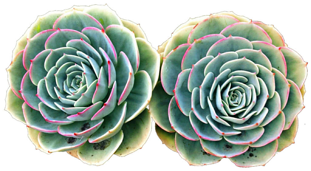 Twin roses by jeanicebartzen. Clipart rose succulent