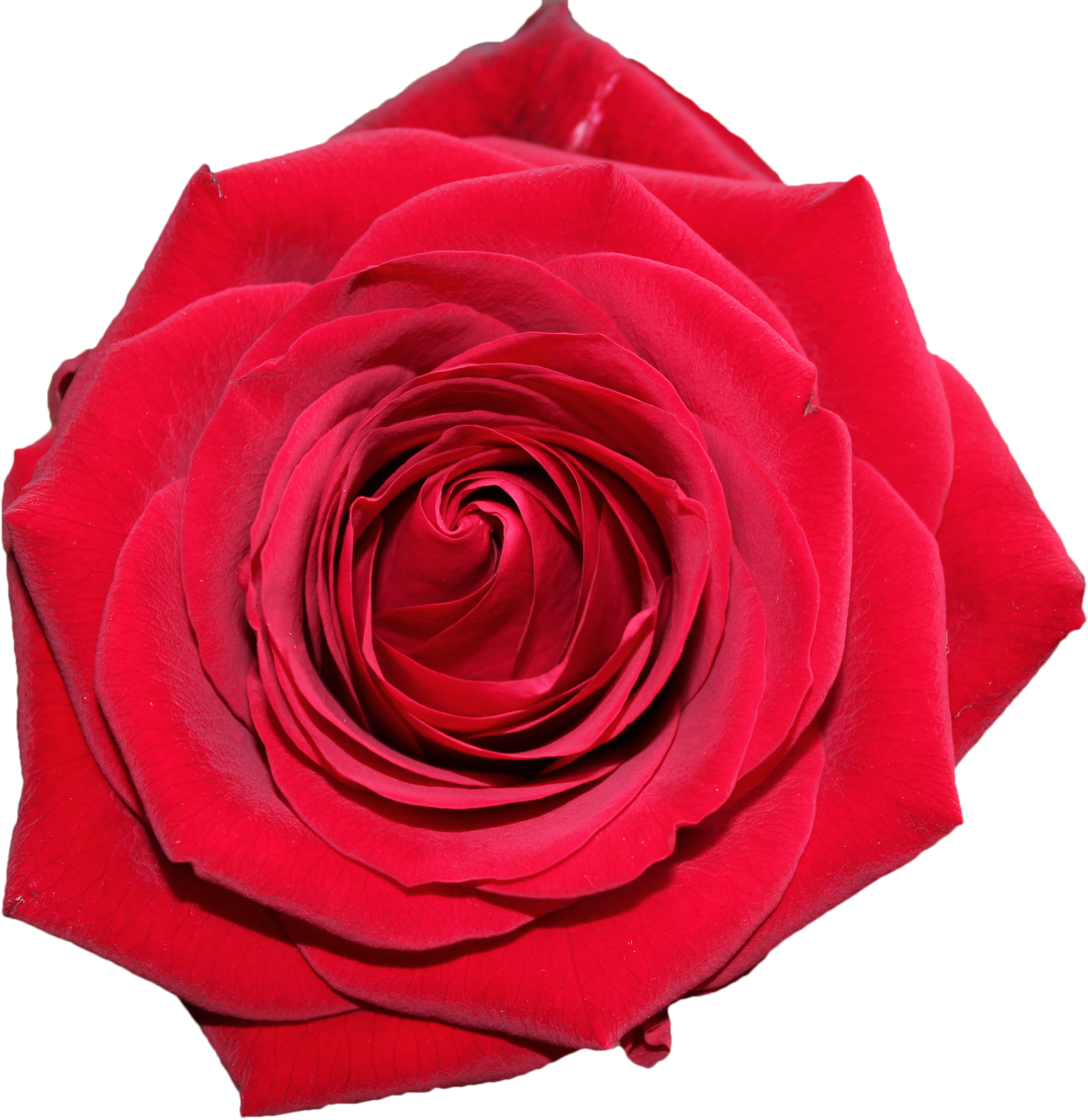 Clipart rose top. Free valentine s day