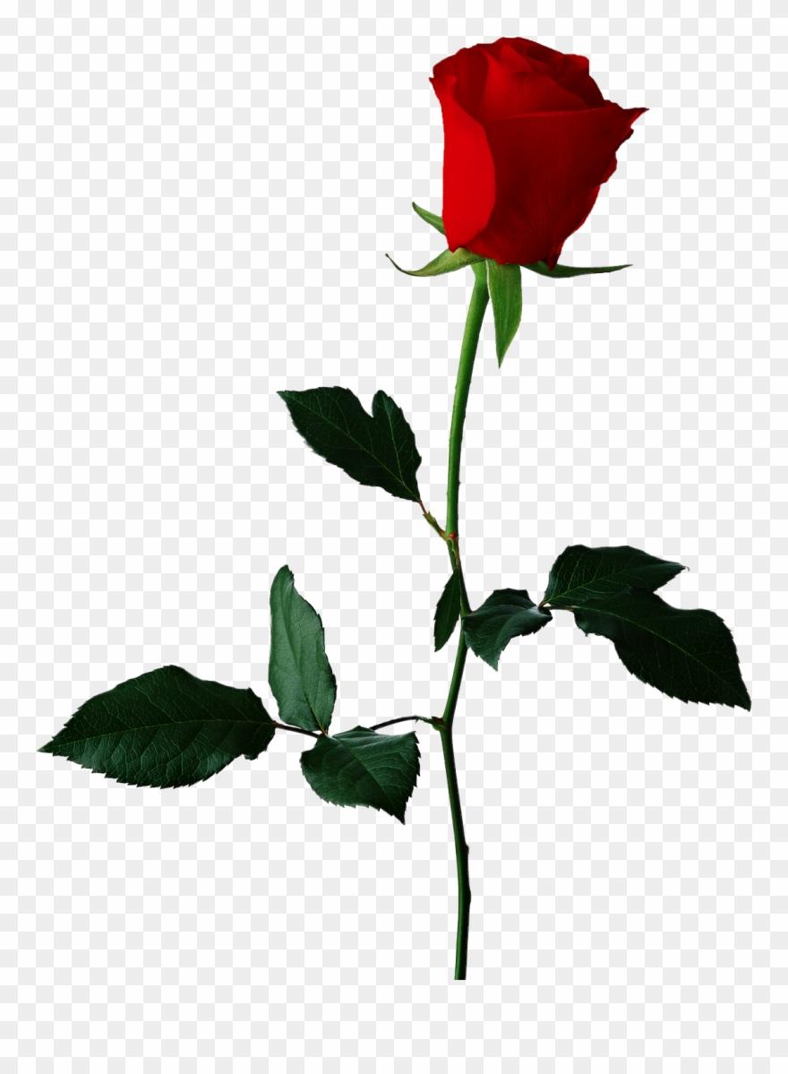 Clipart rose transparent background. Red original flower