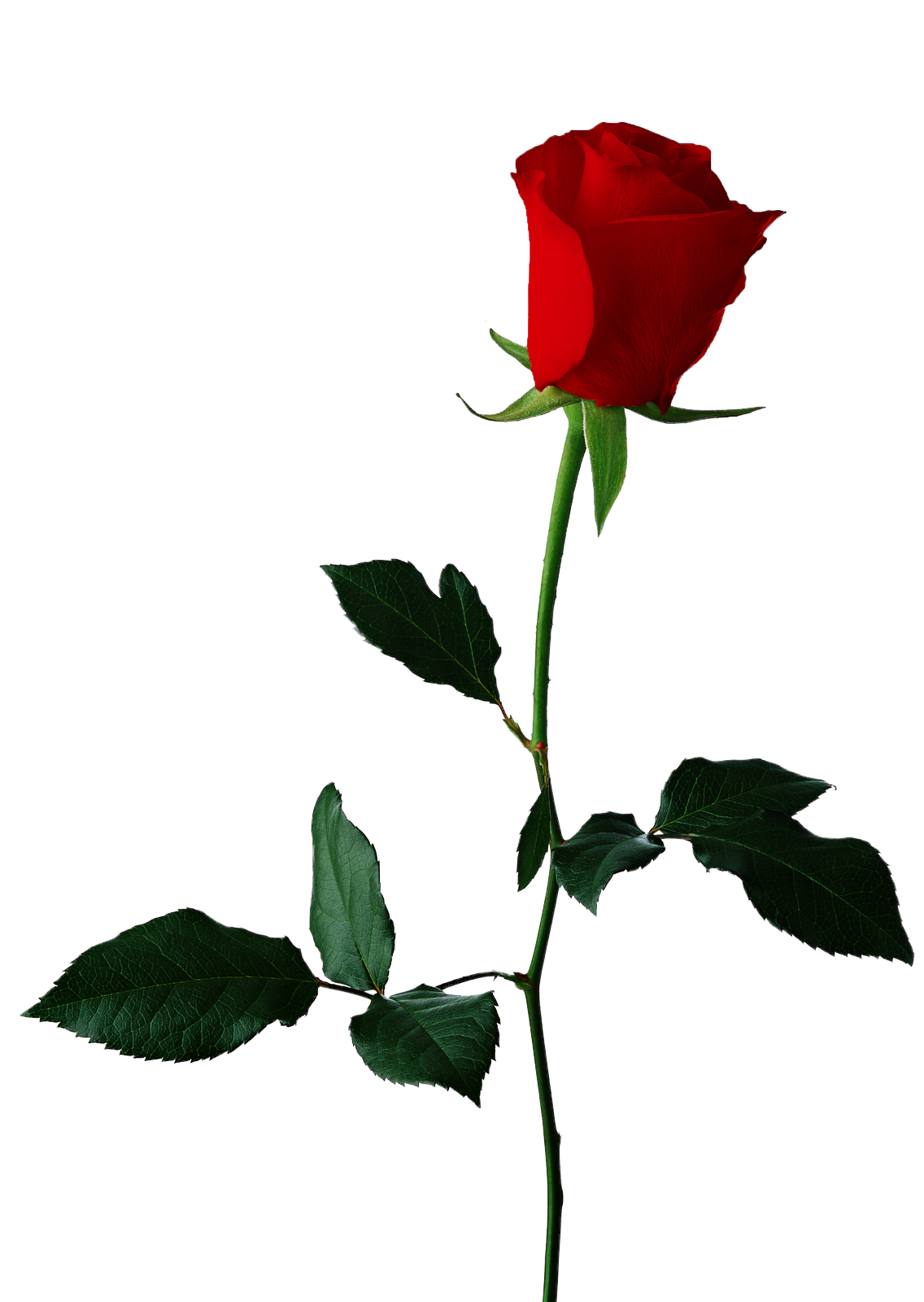 Rose clipart clear background. Single red transparent png