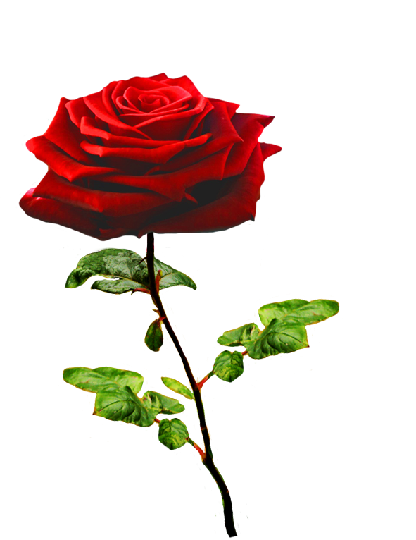 Clipart rose valentines. Of valentine day roses