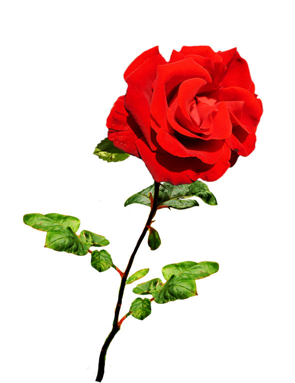 Clipart roses dying. Of valentine day beautiful