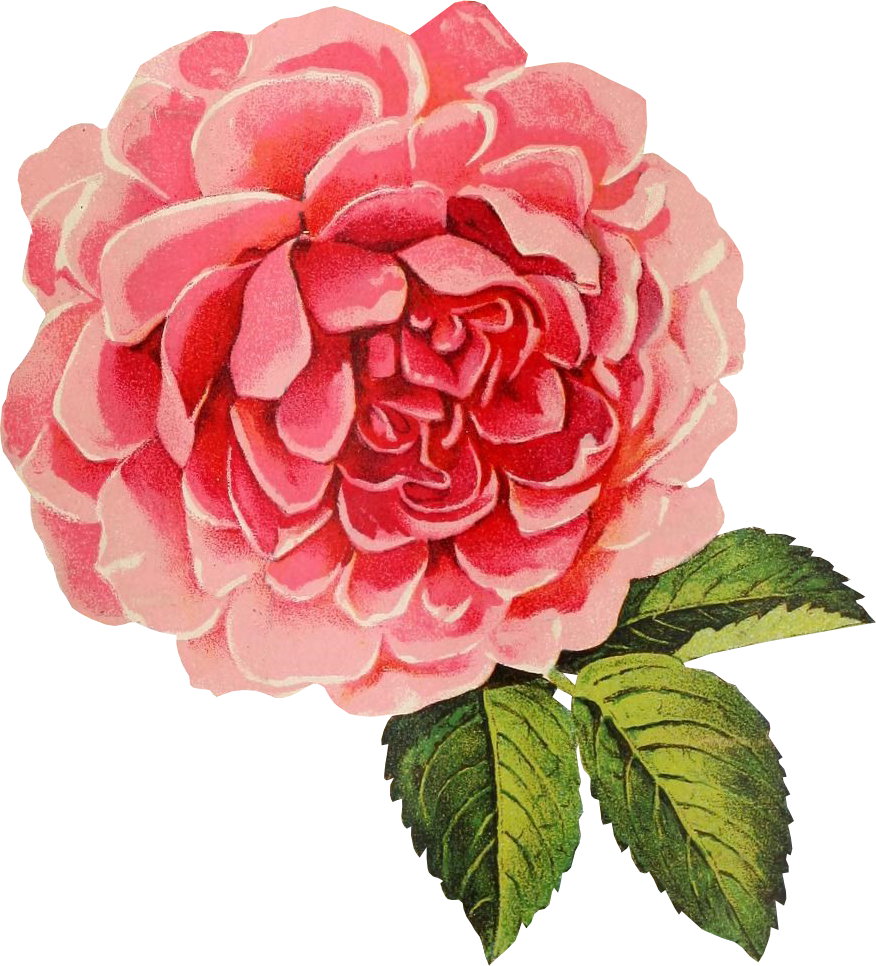 Clipart roses vintage. Free graphic friday cabbage