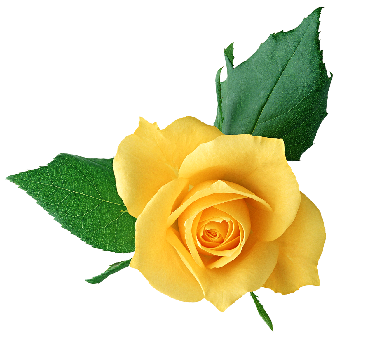 Yellow Rose PNG Transparent Picture | Gallery Yopriceville - High ...