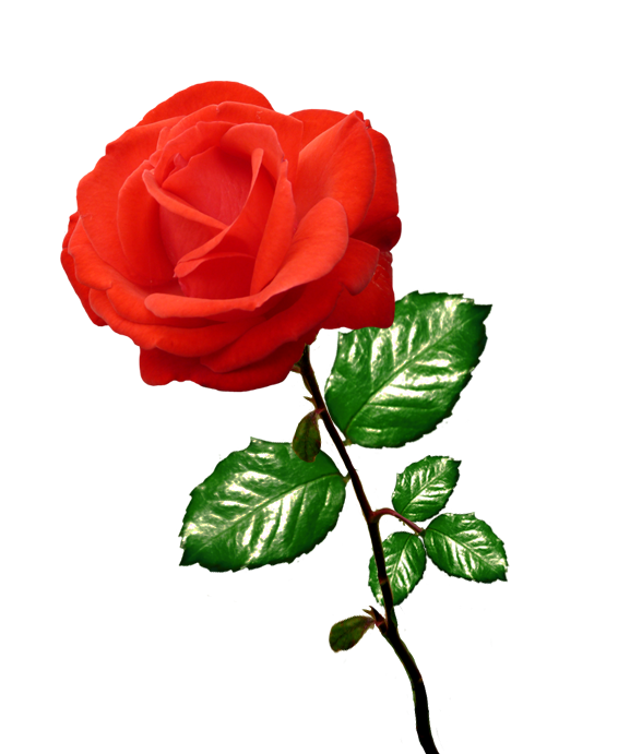 Clipart roses. Rose red long stalk