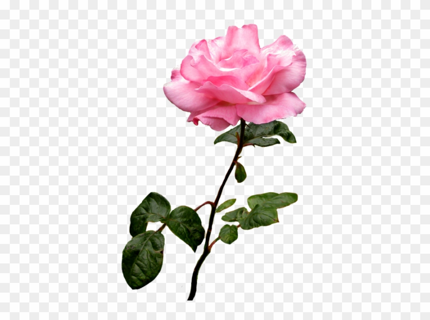 Cross with pink rose. Clipart roses clear background