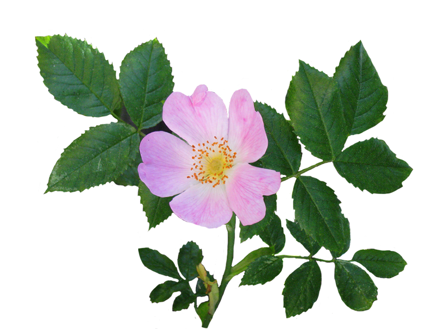 Clipart roses dog. Rose pink flowers garden