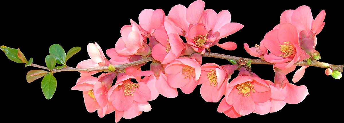 Transparent png images roses. Groundhog clipart flower