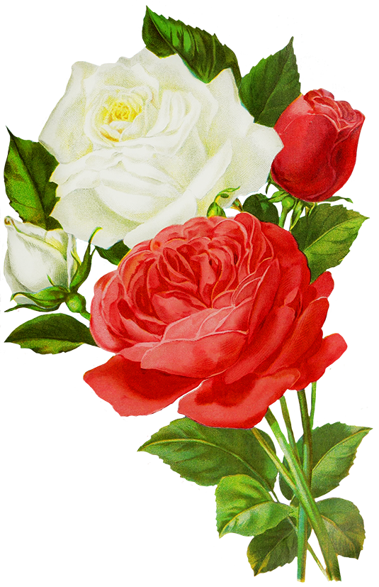 Rose red drawing and. Clipart roses drawn