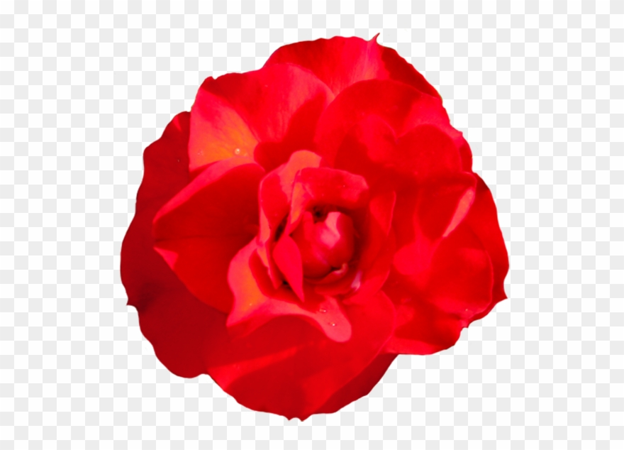 Clipart roses head. Of singel red rose