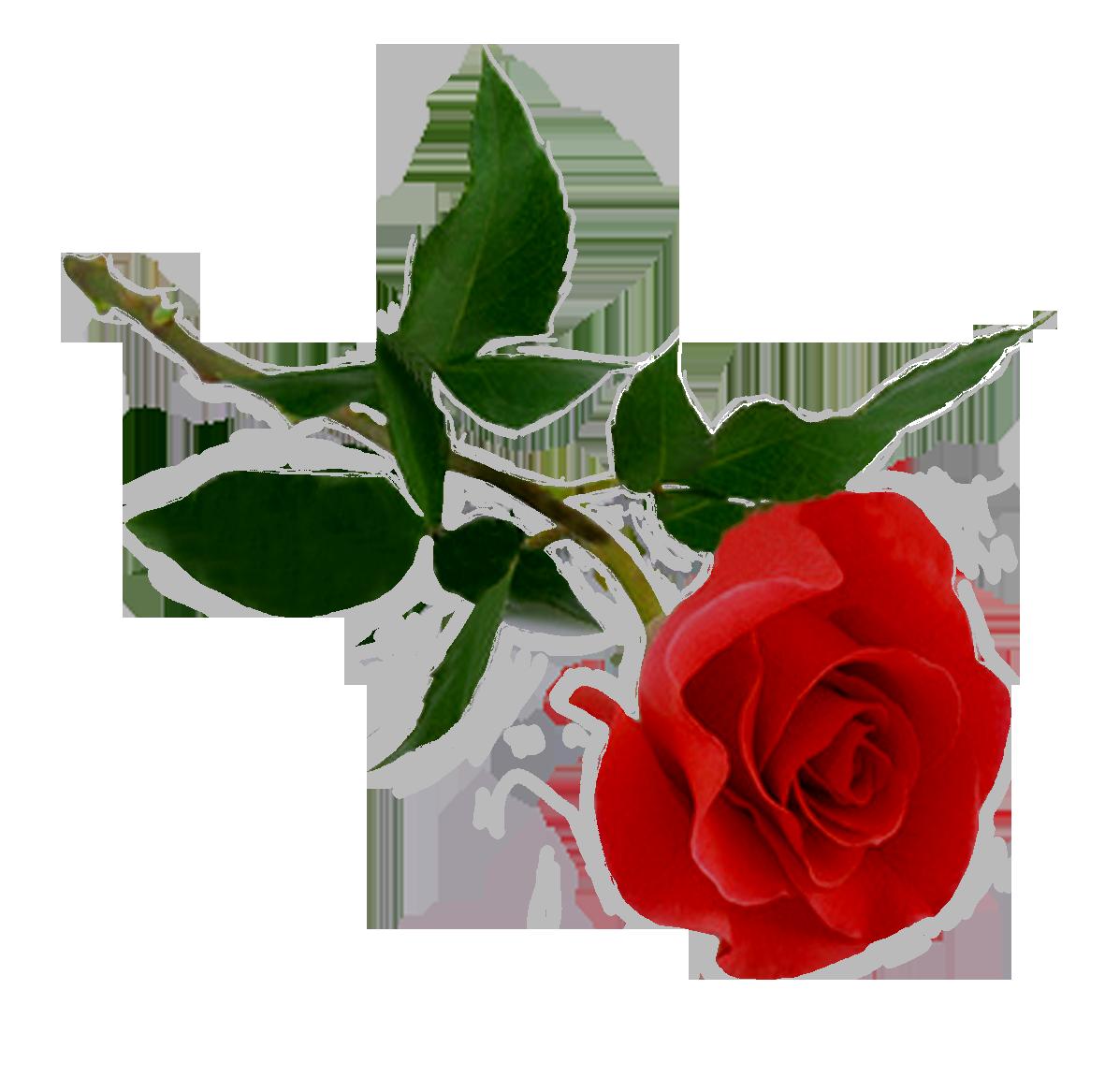 Rose photos transparentpng . Clipart roses leaf
